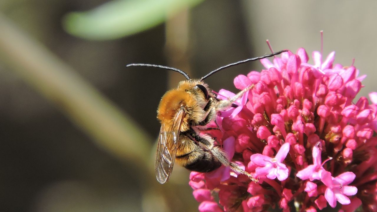 Long-horned bee - Eucera longicornis - on a pink flower.
