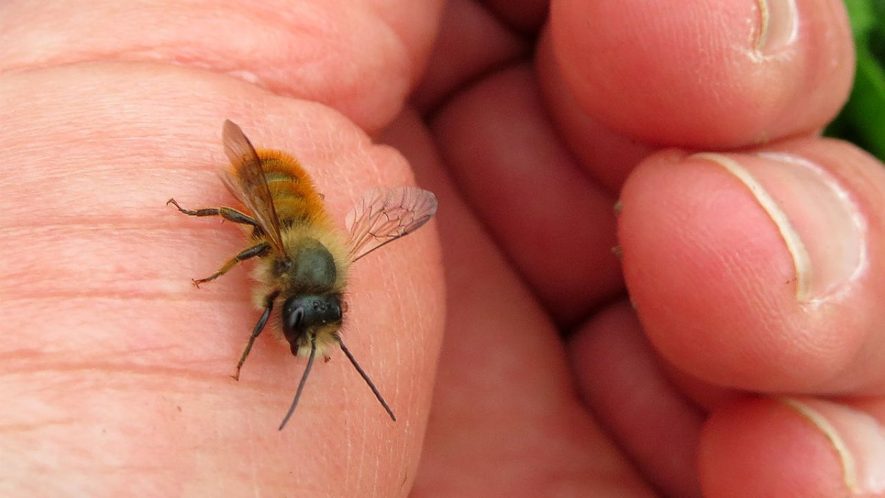 A close-up of a male mason bee - osmia bicornis - on a man's hand