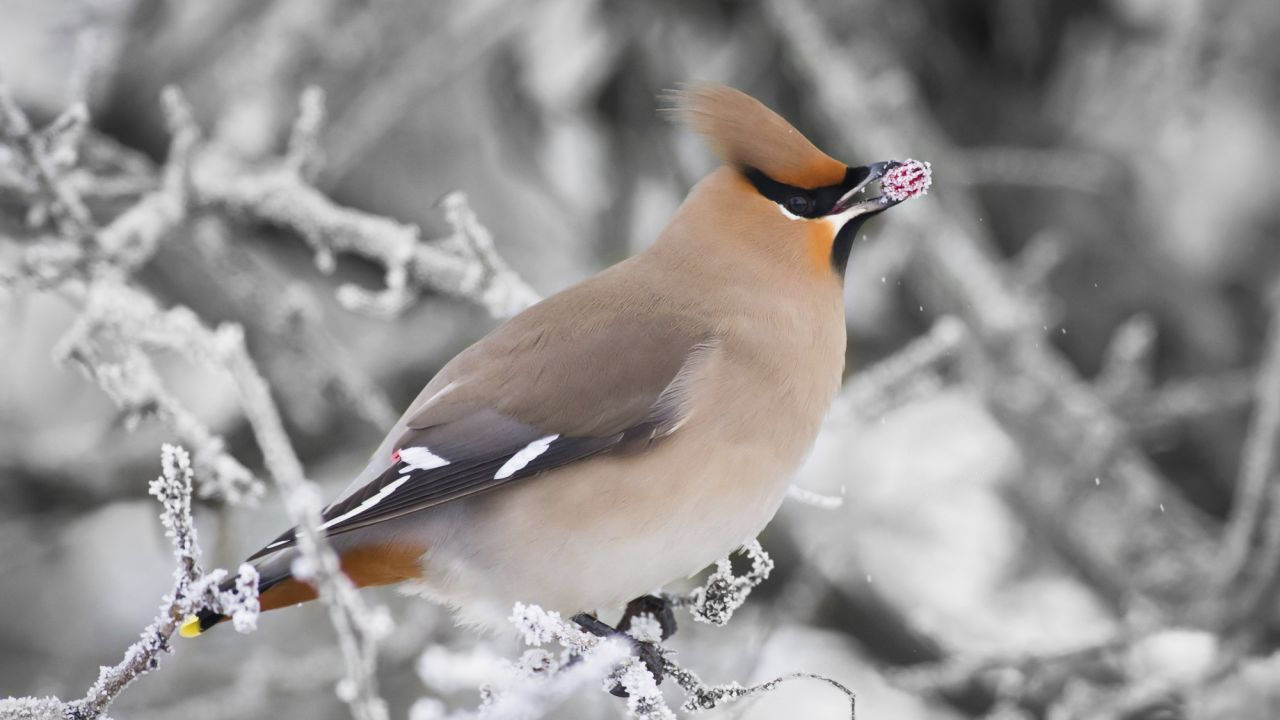 Waxwing, in snowy branches, eating red berry