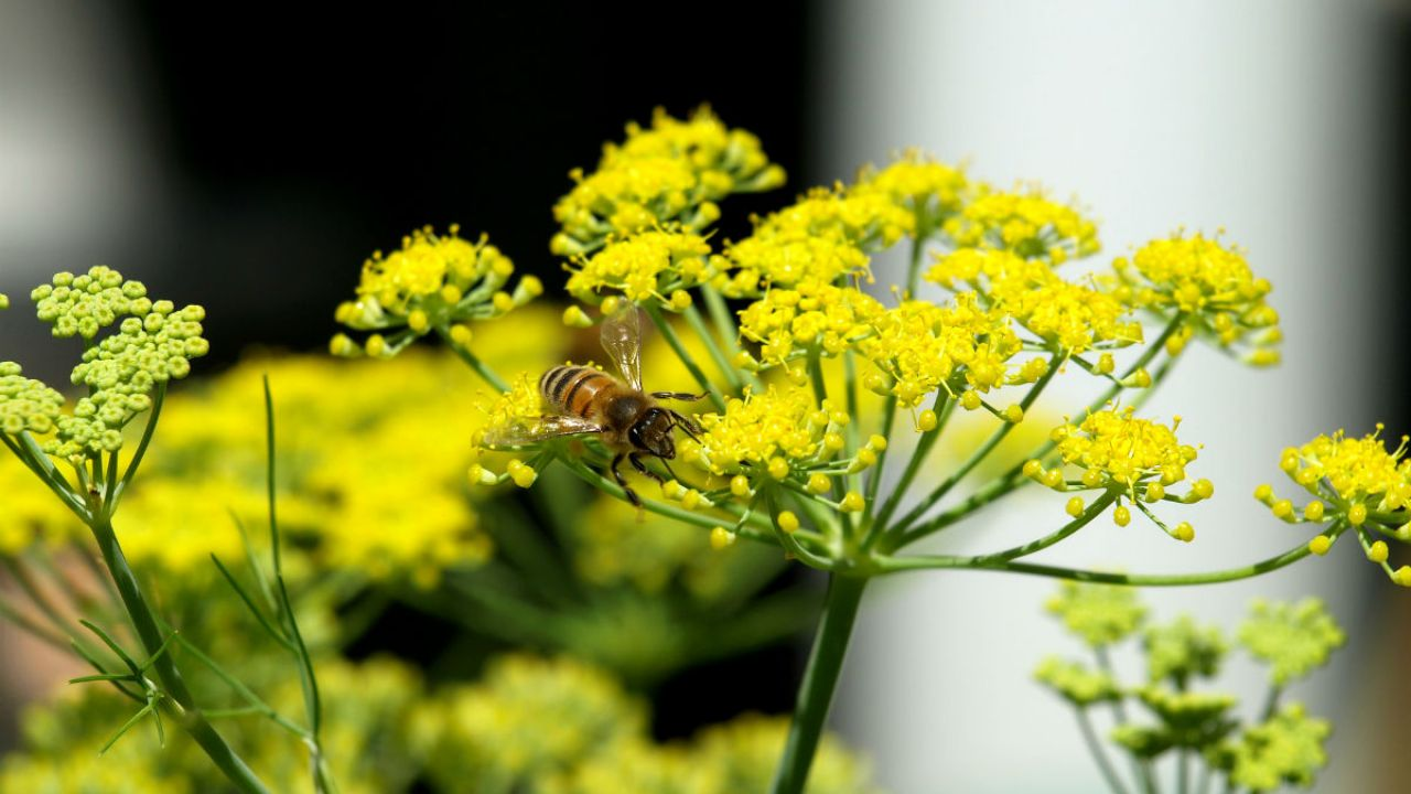 A bee on a yellow-headed flower of the fennel plant