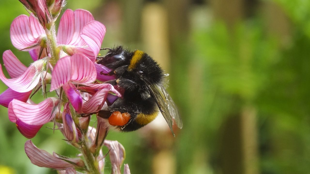 Photo of buff-tailed bumblebee