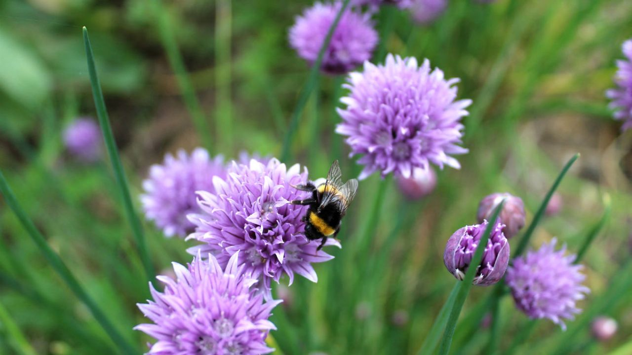A bee visiting violet chive flowers