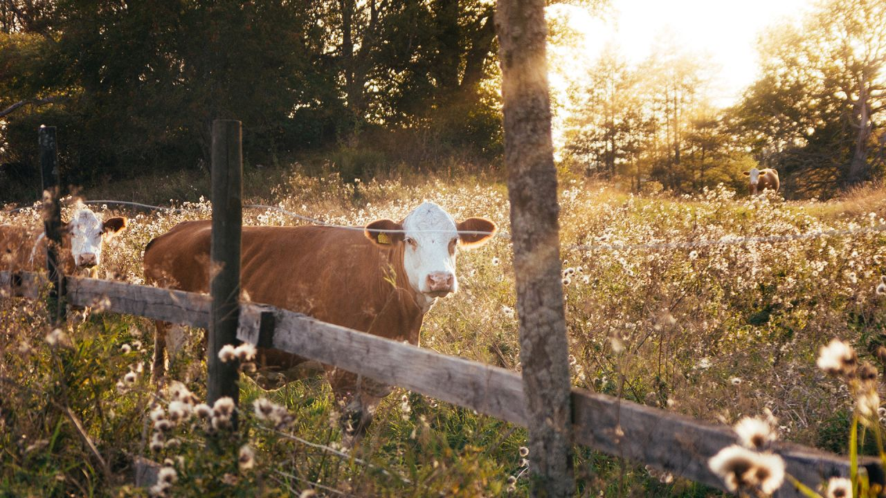 Sustainable farming: Cows in a biodiverse field