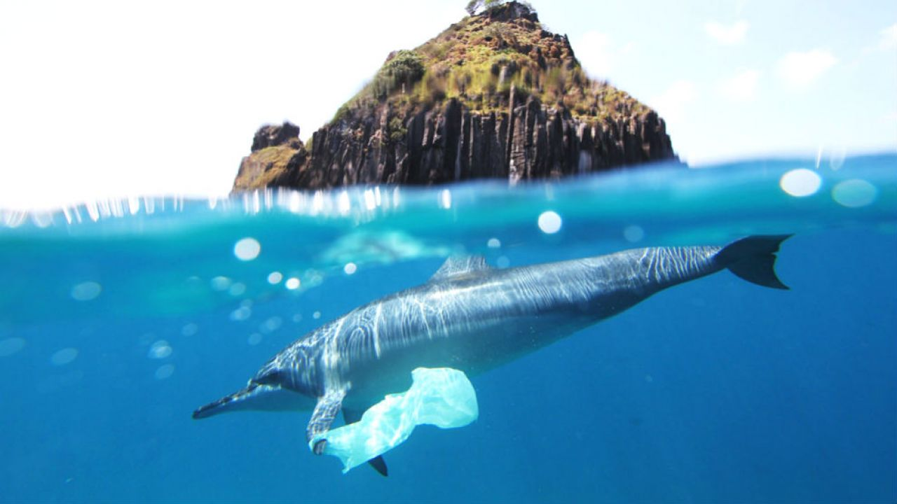 A dolphin with a plastic bag attached to its fin