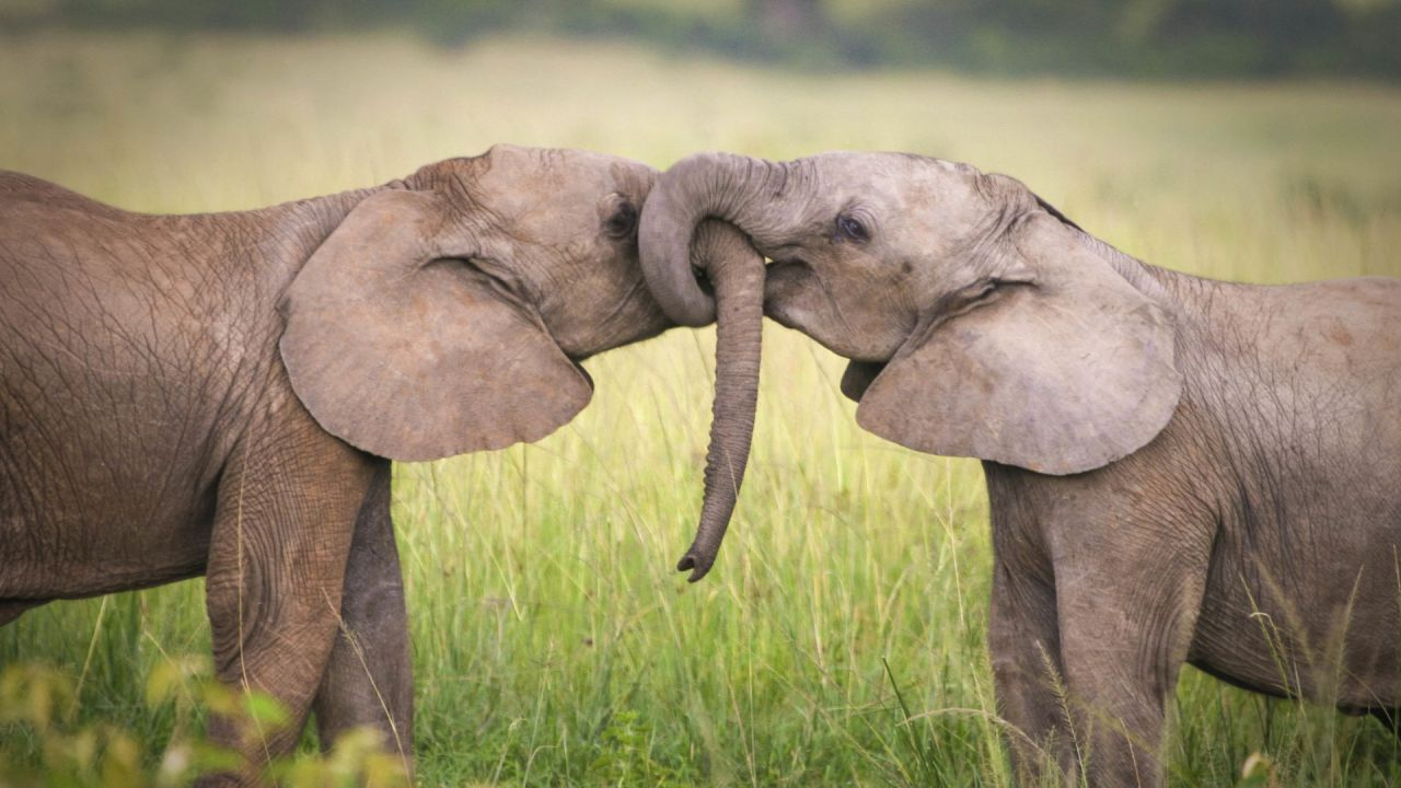 2 young elephants with their trunks joined together