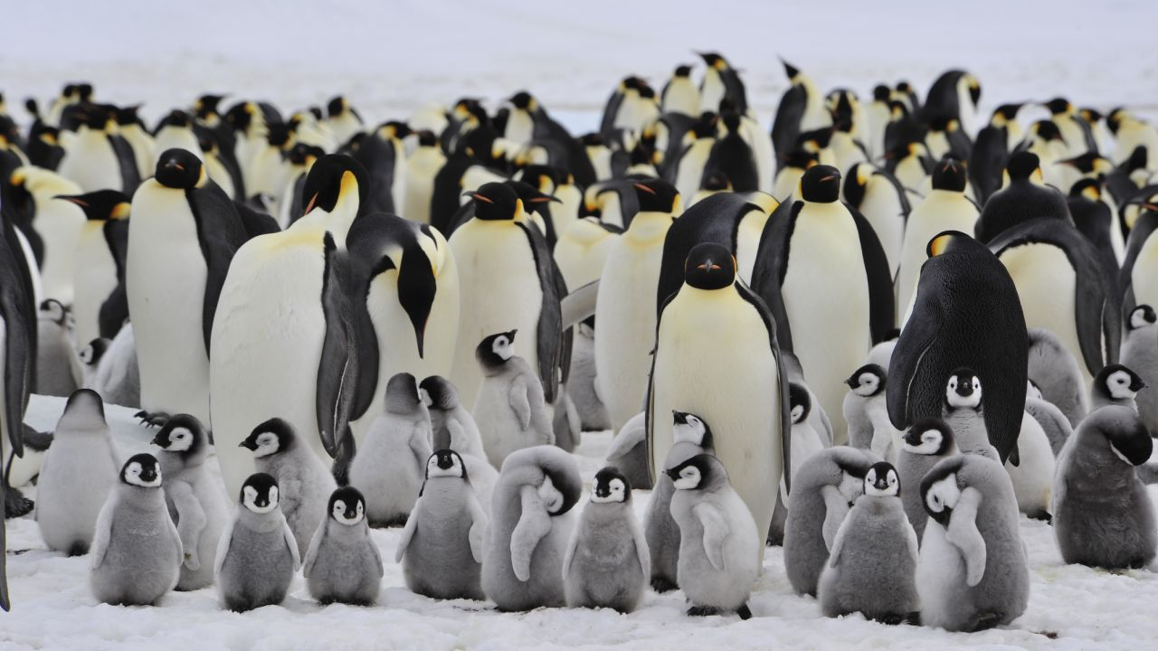 Emperor penguins and their chicks in Antartica