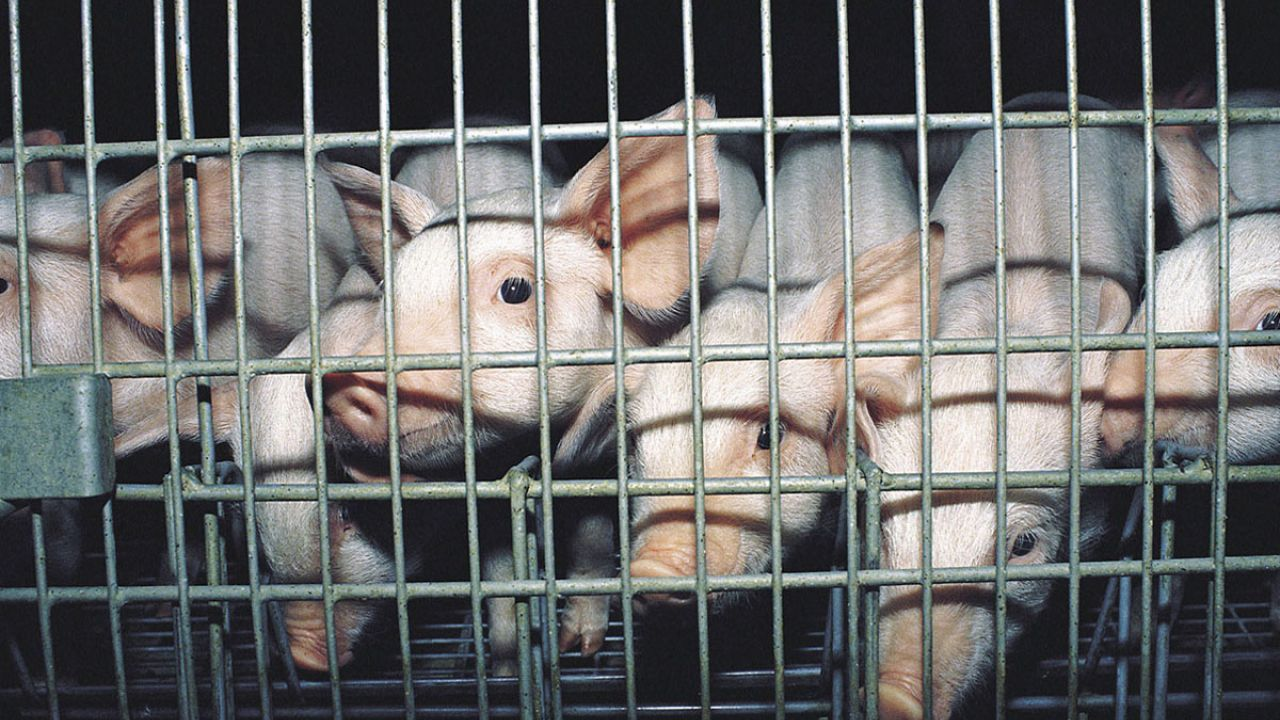 Weaner piglets in a cage on an intensive factory farm