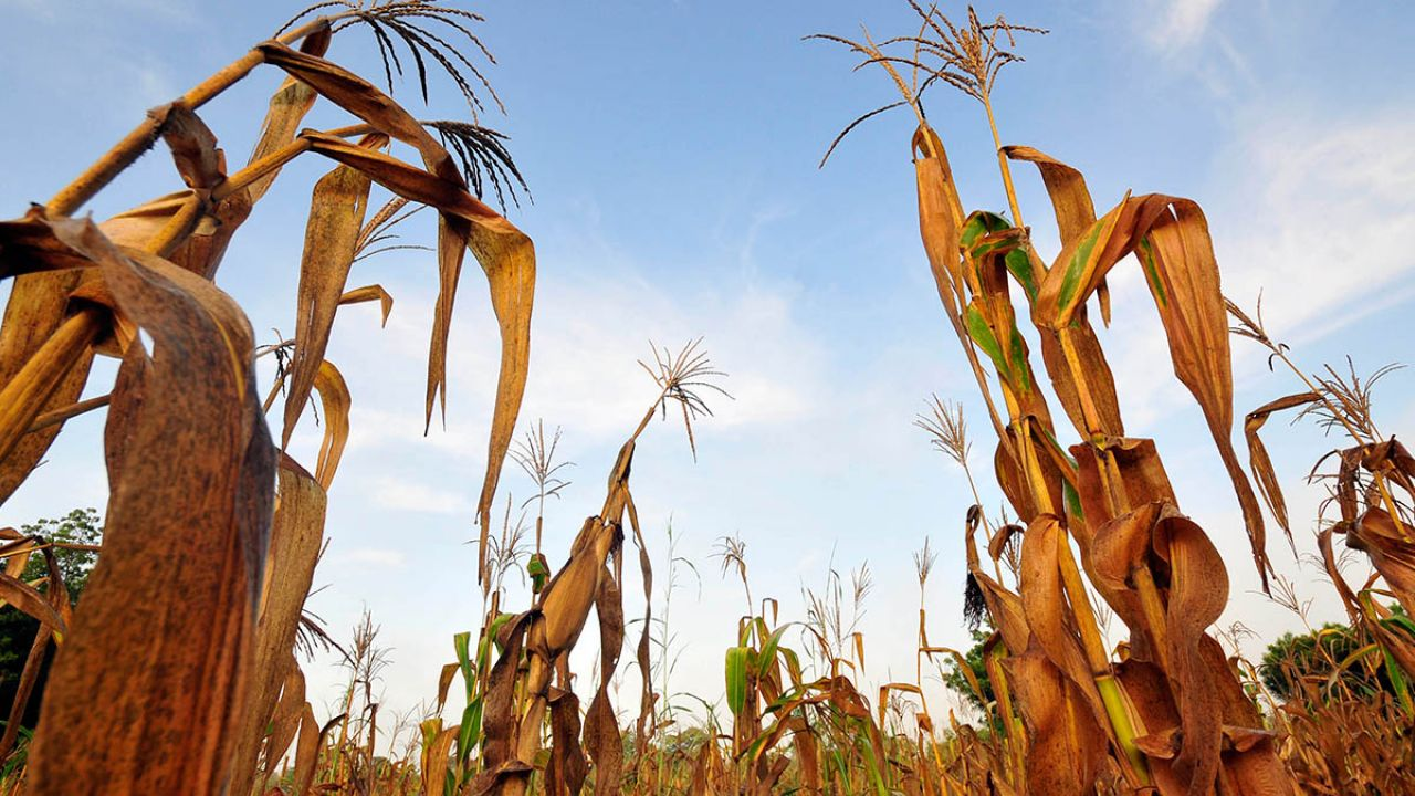 A wilted and failed maize crop in Ghana - an example of food loss