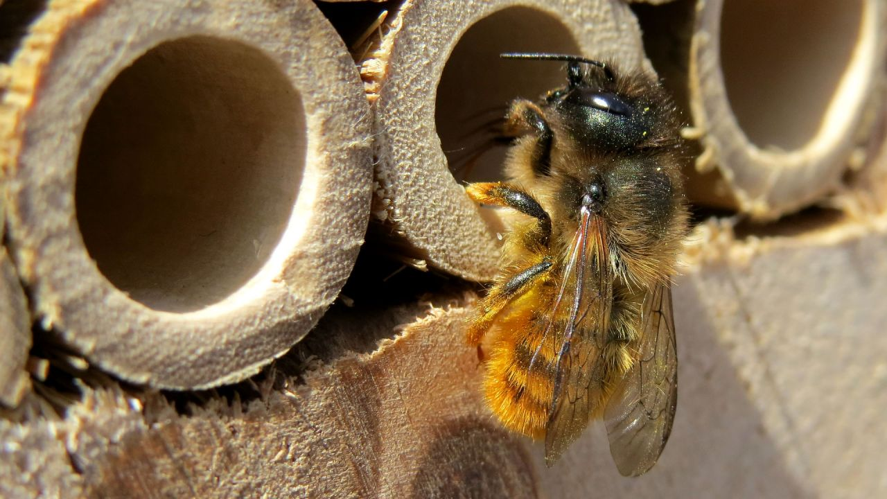 A female mason bee – Osmia bicornis – perching at the entrance of a bee hotel