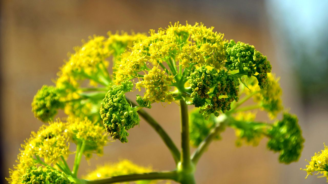 A fennel flower