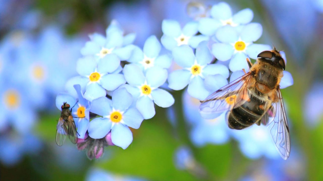 A Hoverfly visiting blue forget-me-not flowers