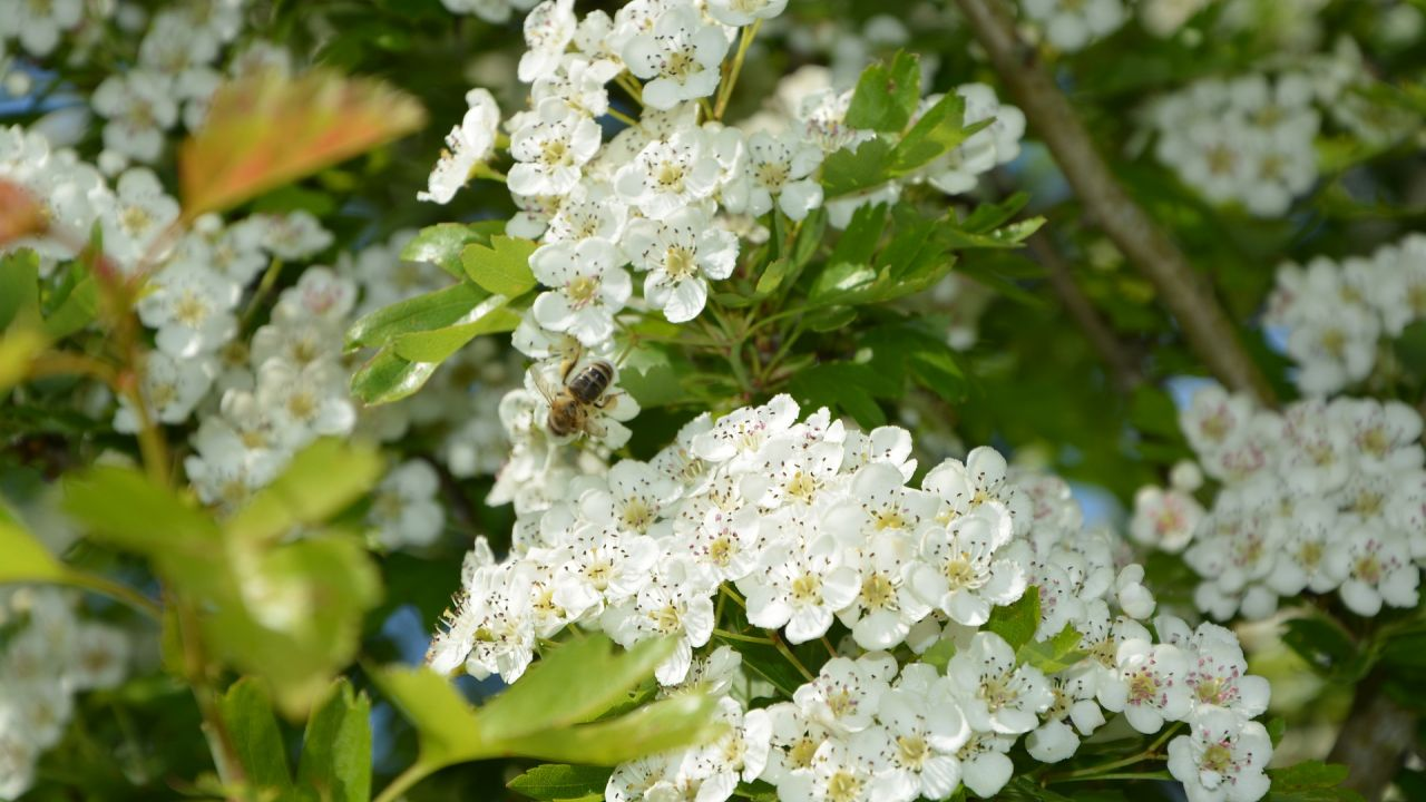 Hawthorn with bee