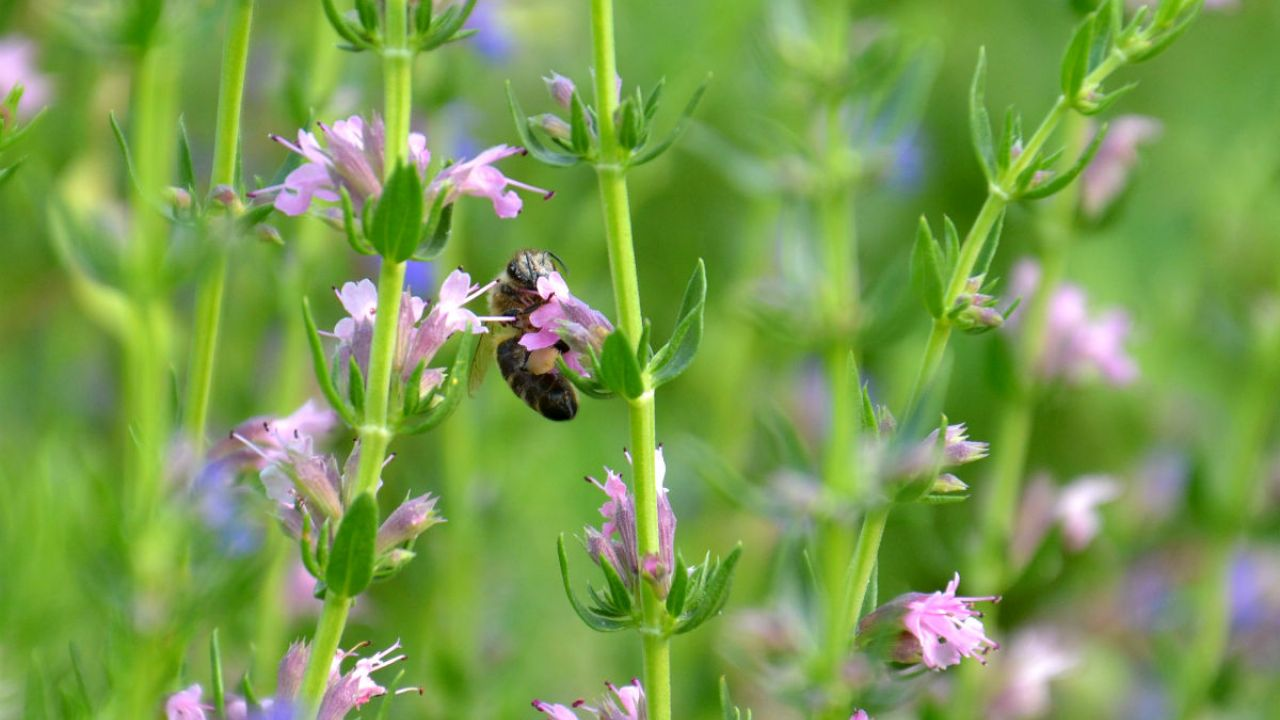 A bee visiting the flowers of a hyssop plant