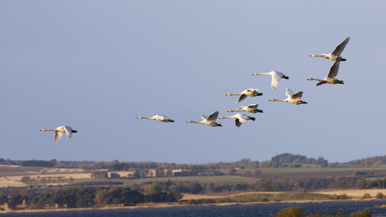 Whooper swans arriving at Loch Leven, Scotland