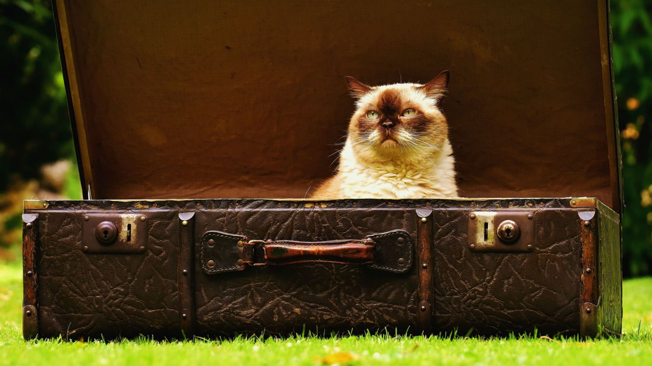 A white long-haired cat sitting in an old brown open suitcase