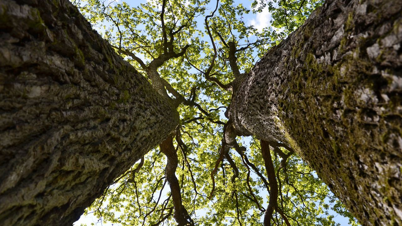 Looking up at the canopies of two oak trees