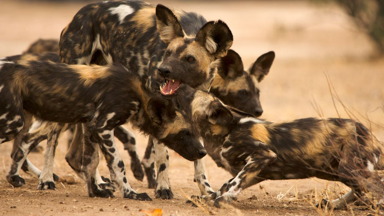 A pack of painted wolves