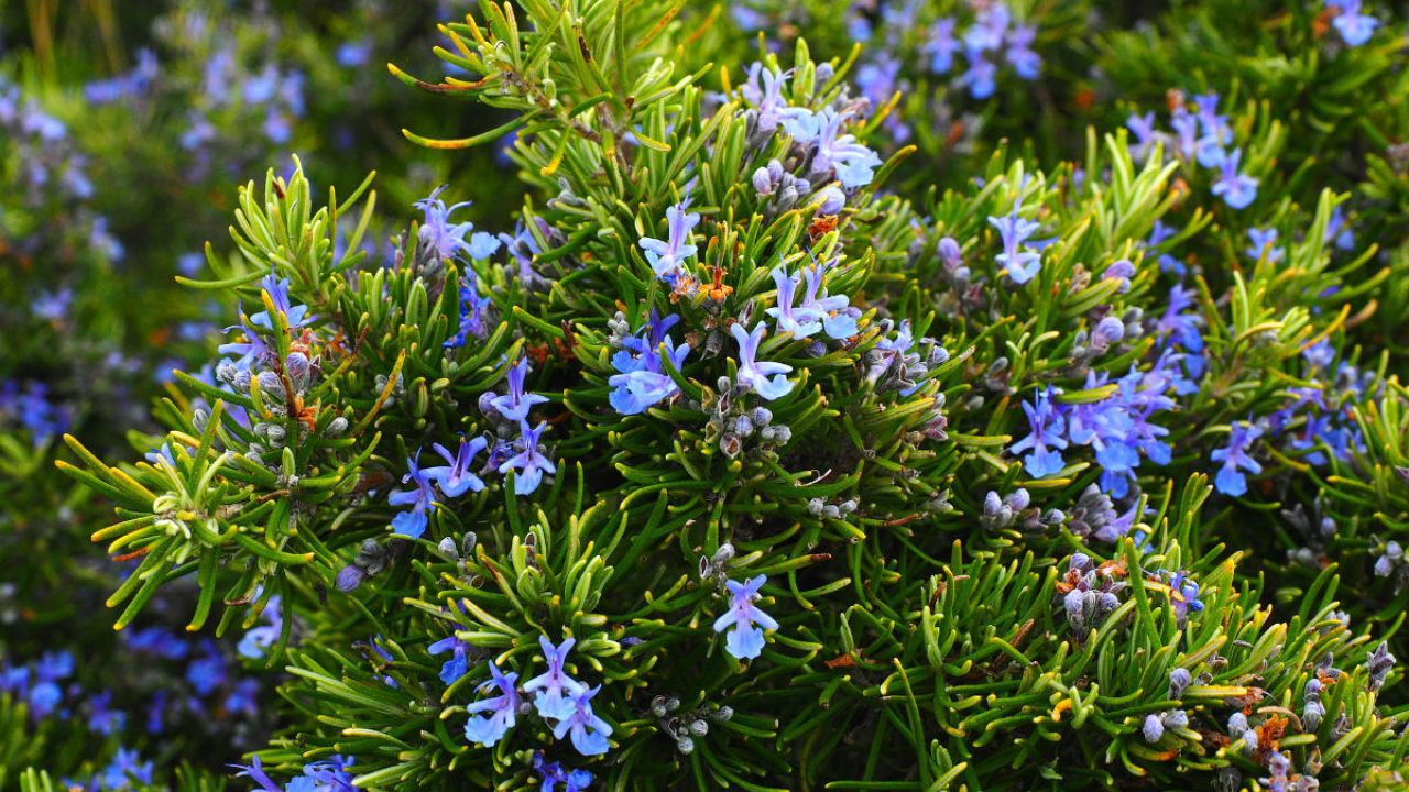 A rosemary plant with blue-purple flowers