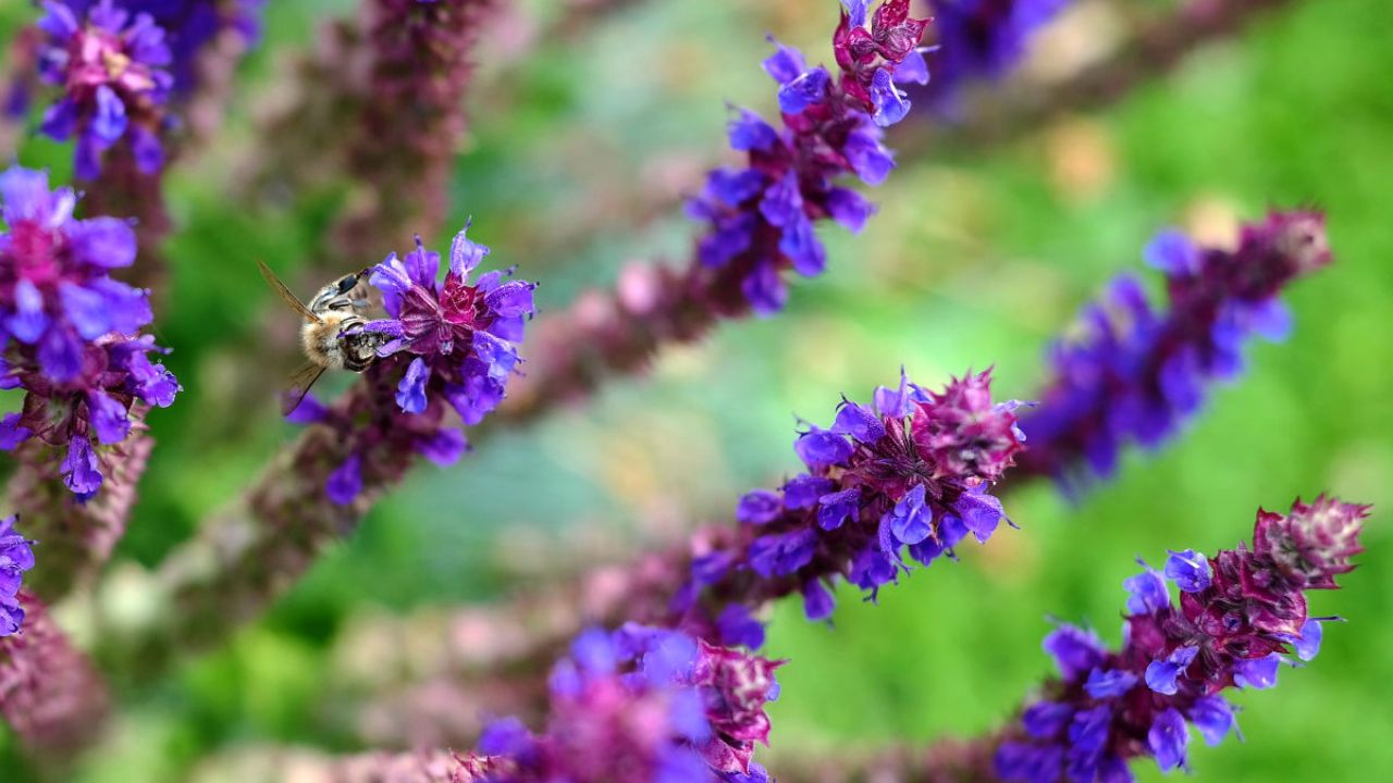 A bee visits the purple spikes of tubular flowers on a sage plant