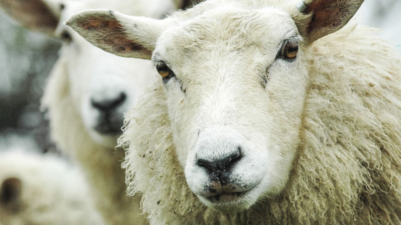 Two sheep in a UK herd, close up