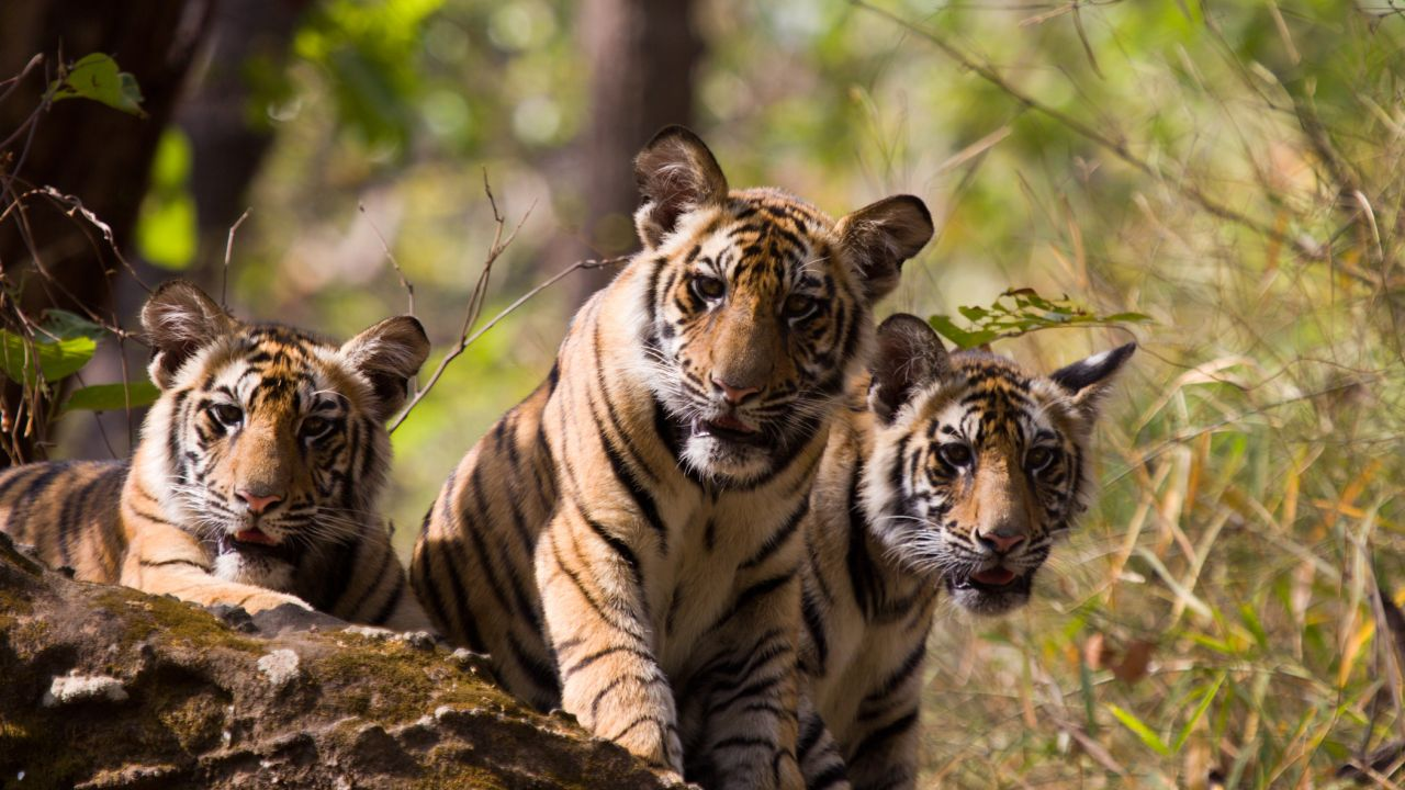 Three tiger cubs in Bandhavgarh National Park, India