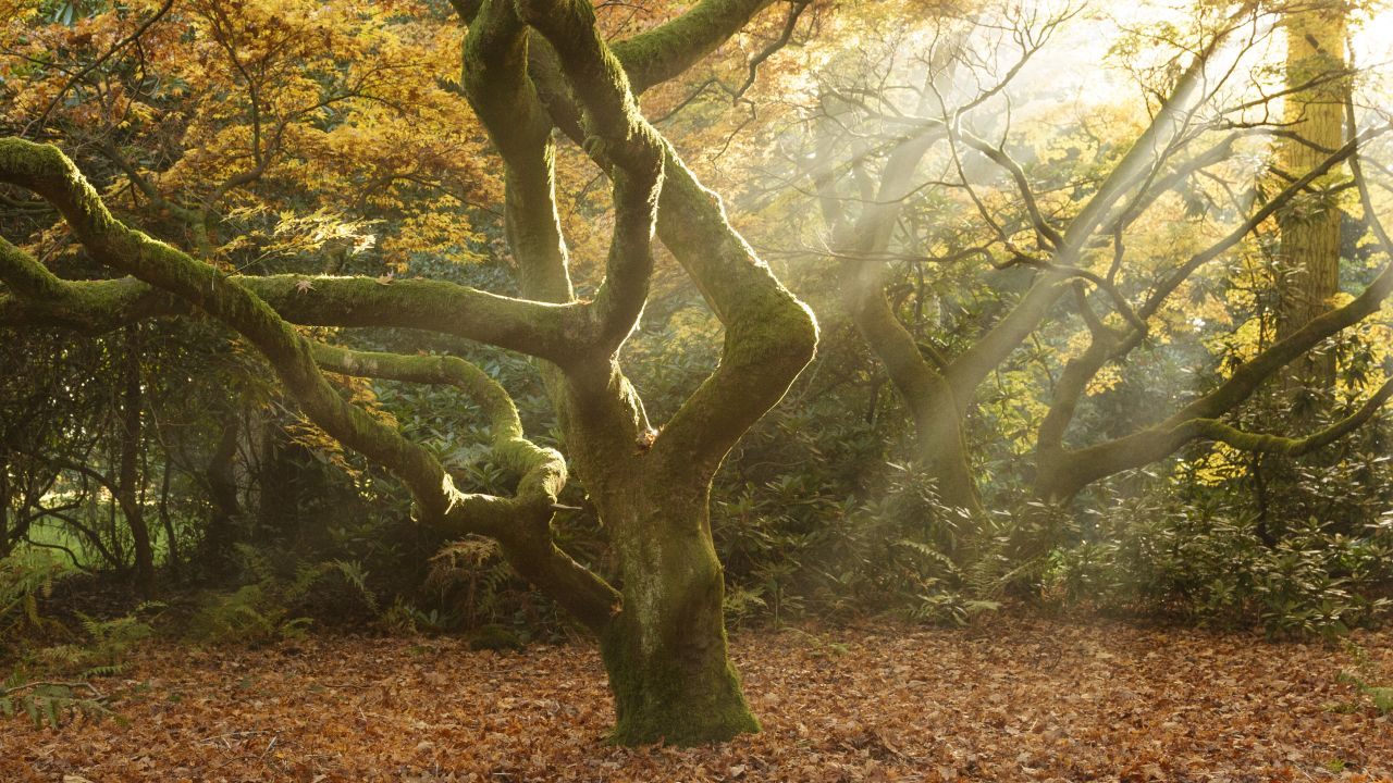Tree facts: Morning light, Westonbirt Arboretum, England. Central tree surrounded by others. Carpet of leaves on ground.