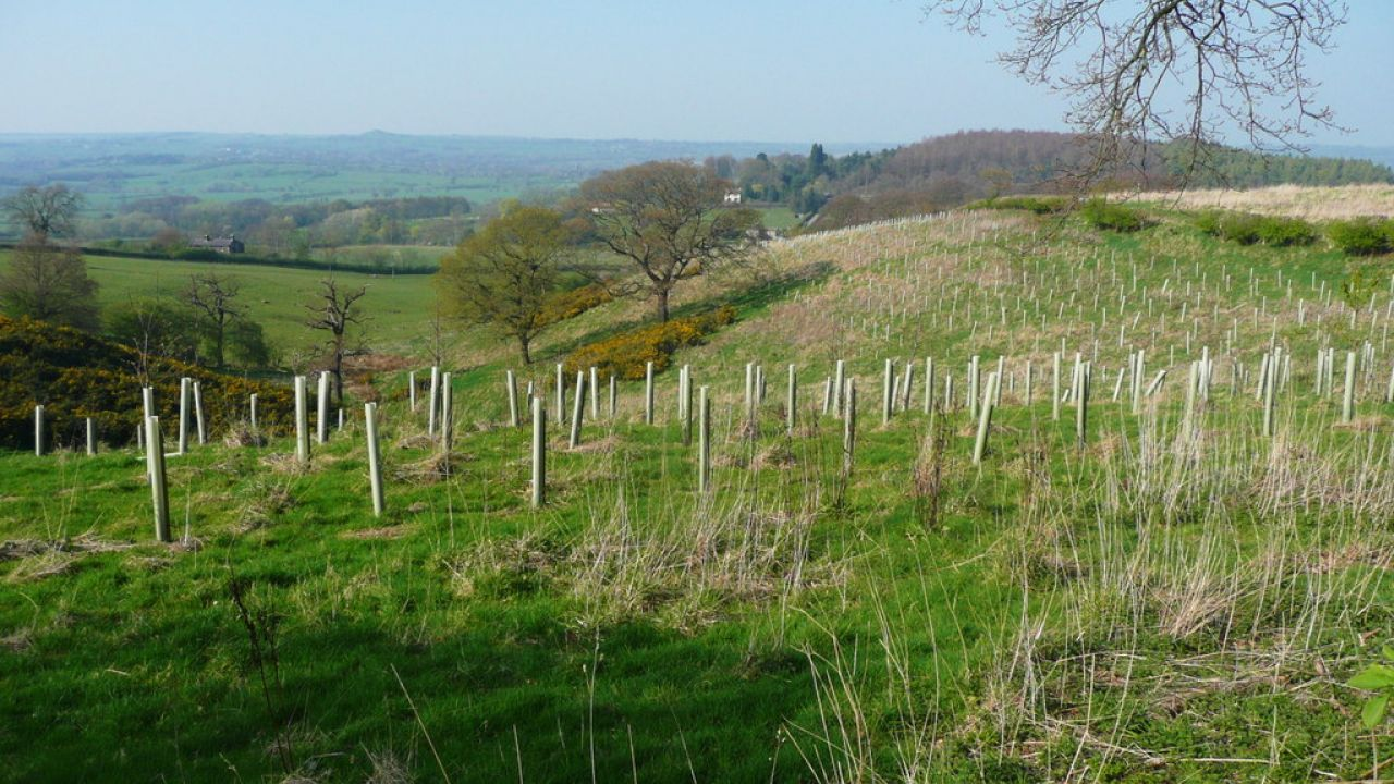 photo of new tree plantation on a hillside, Harewood, UK