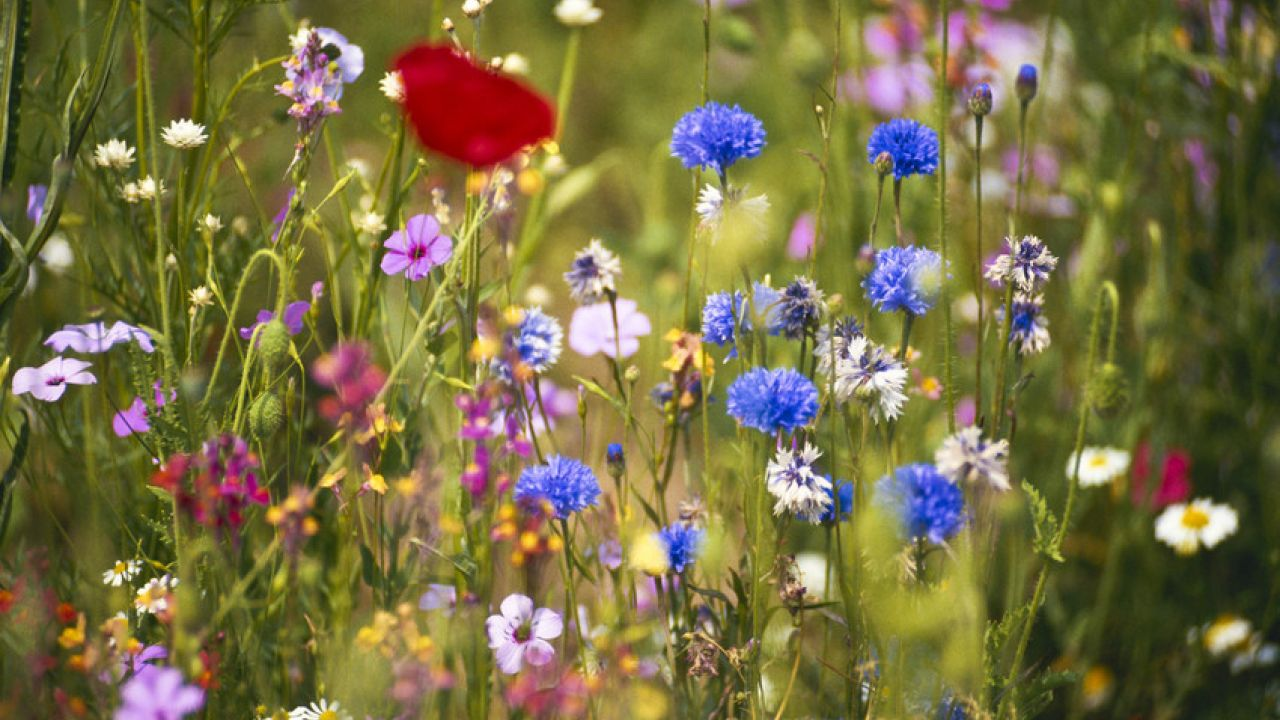 Pollinator-friendly wildflowers