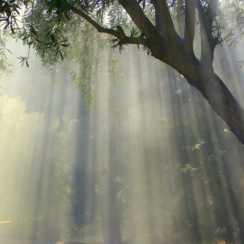 Tree in the morning sun with fog