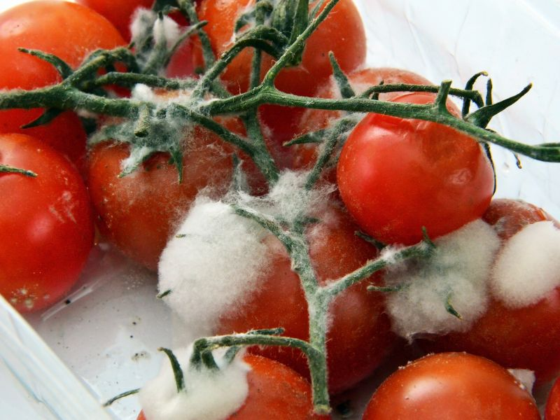 Cherry tomatoes on the vine that have gone mouldy
