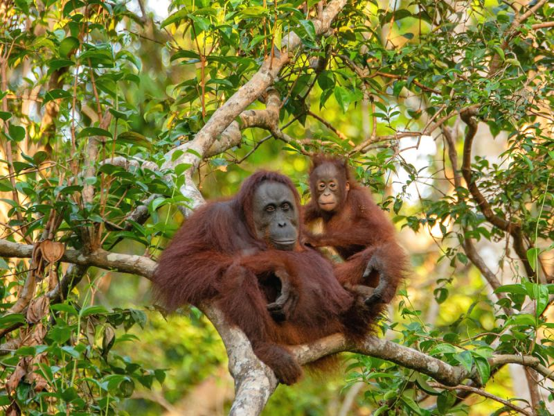 An orangutan mother and baby sitting in the branches of a tree