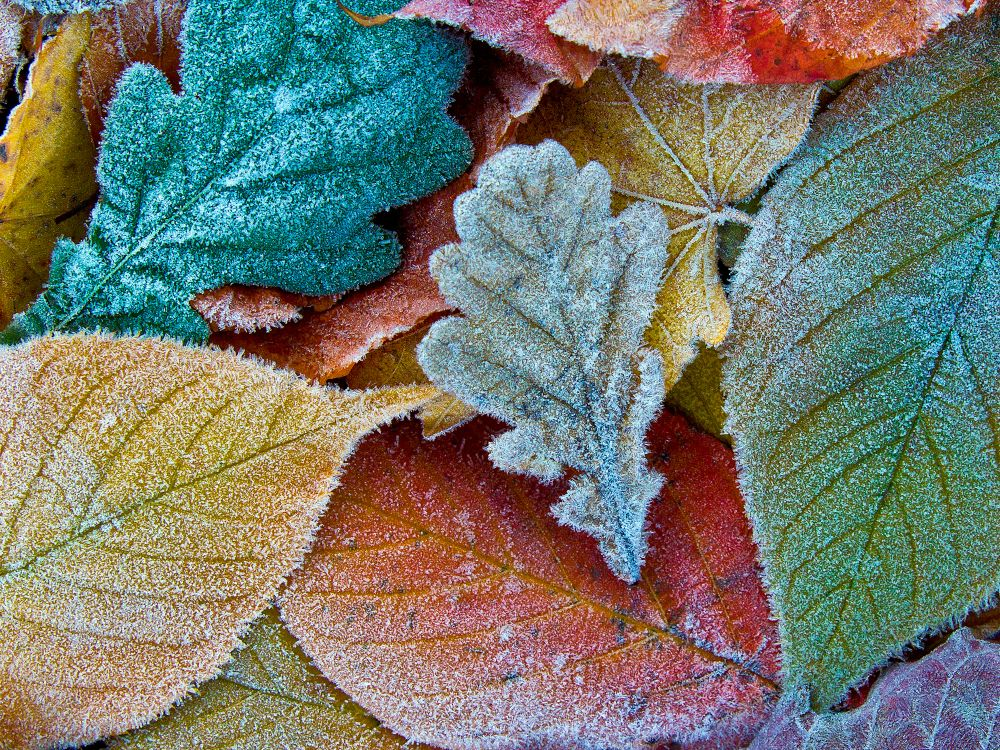 Frosted winter leaves