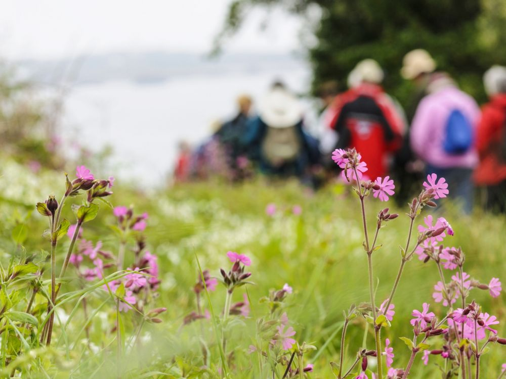 Red campion and background walkers