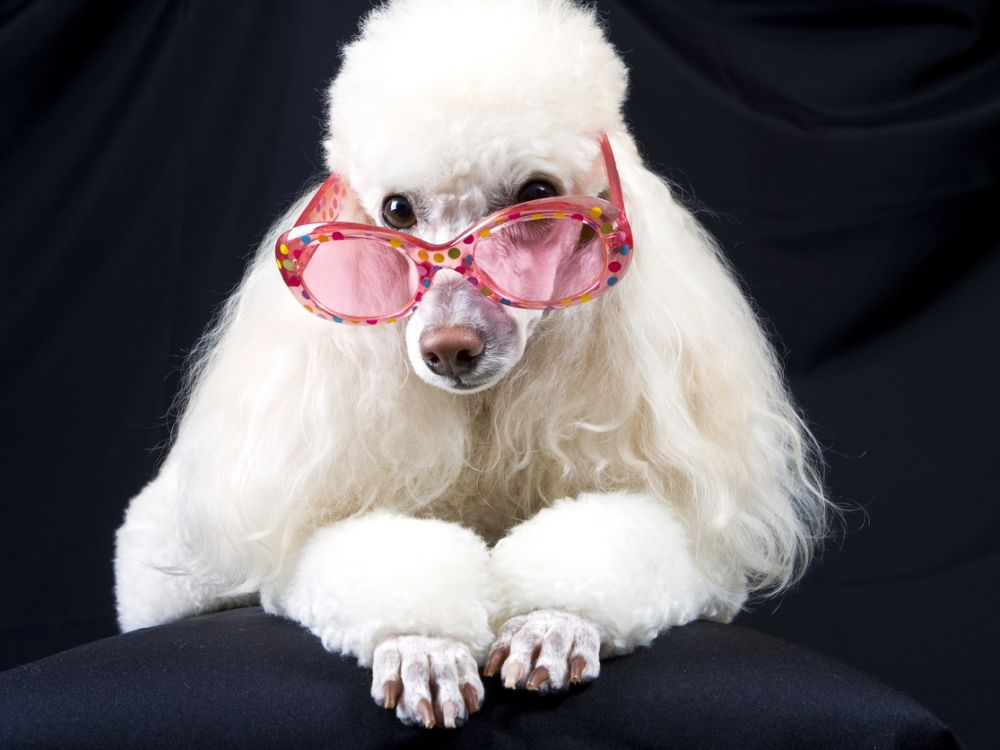 photo of white poodle with pink sunglasses