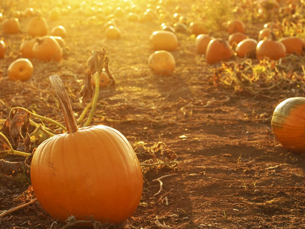 Pumpkins in farm field