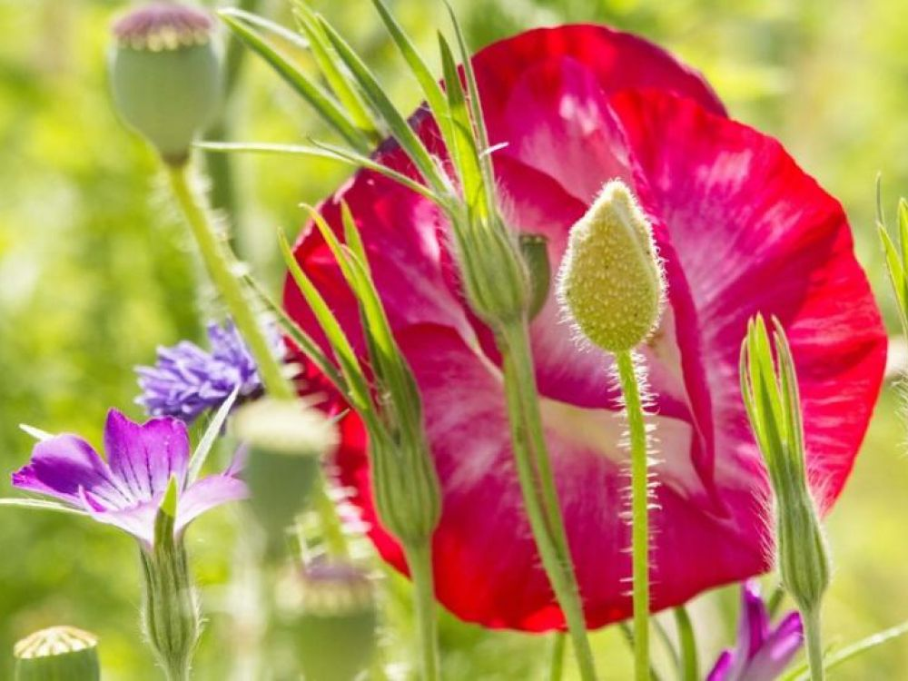 photo of poppies and other wildflowers