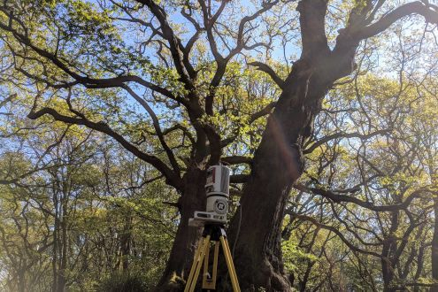 "A laser helps ""weigh"" the two oak trees in Hampstead, North London."