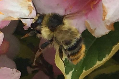 Shrill carder bee - Bombus sylvarum - on a flower.
