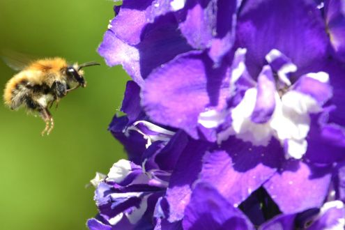 A bumblebee flying towards purple flowers