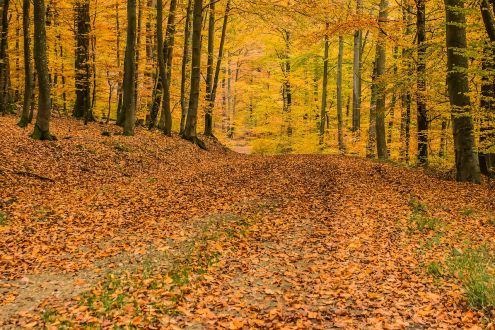 A forest floor covered in leaves during Autumn