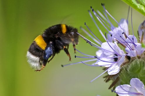 photo of bumblebee and flower
