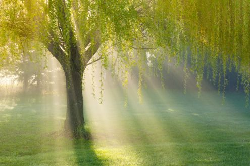 Tree facts: A willow tree in morning fog