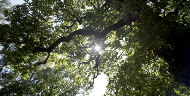 photo of trees overhead, Sherwood Forest
