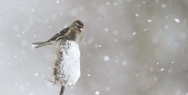Lesser redpoll, sitting on teasel plant in snow