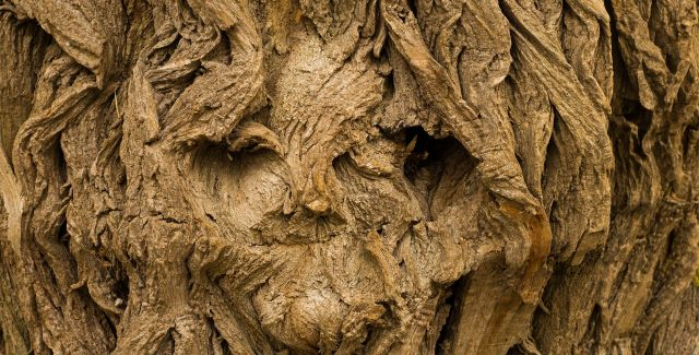 A face in the bark of a tree